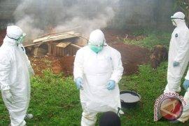 Flu burung dapat diantisipasi dengan pemusnahan massal ayam