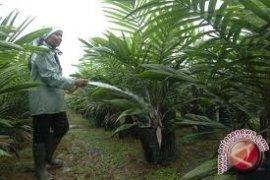 28.000 hektare sawit Kaltim perlu diremajakan