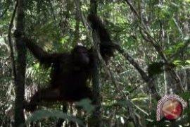 BOSF Akan Lepasliarkan 26 Orangutan