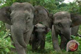 Gajah Sumatera terancam punah akibat penyempitan hutan
