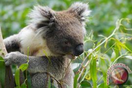 Kebakaran hutan di New South Wales menewaskan setengah populasi Koala