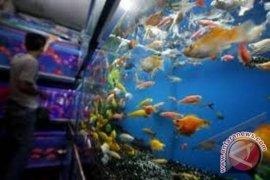 Bisnis Ikan Hias Berkembang Pesat