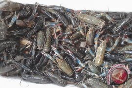 Petani Ikan Desa Kapur Budidayakan Lobster