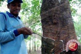 Pembukaan PPLB Badau Untungkan Pabrik Karet