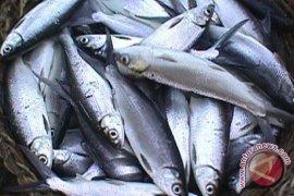 Perusda Aneka Usaha Kembangkan Tambak Ikan Bandeng