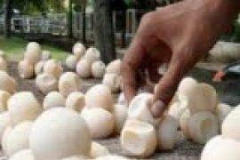 BKSD Dukung Proses Hukum Penyelundup Telur Penyu