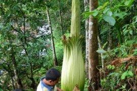 Populasi Bunga Bangkai dan Raflesia ditemukan di Agam.