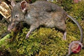 Spesies Tikus 'Nyaris Ompong' Ditemukan di Sulsel