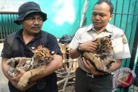BKSDA Jambi amankan dua anak harimau
