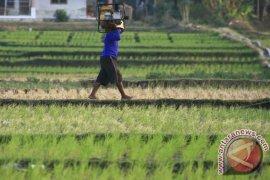 Kemarau akibatkan 700 hektare sawah gagal panen