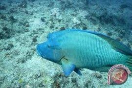 Ekspor Ikan Napoleon Anambas 300 Ton