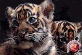 Harimau KB Jambi melahirkan tiga anak