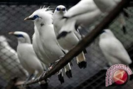 Bupati Badung Lepasliarkan Burung Jalak Bali