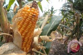 Produksi jagung Sumut ditargetkan 1,494 juta ton