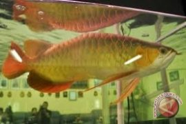 Konservasi Ikan Arwana Danau Empangau Kapuas Hulu Menggembirakan