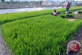 Rice production of East Kalimantan predicted to rise