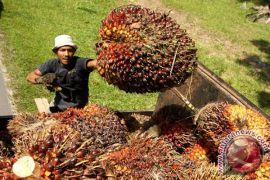 Harga TBS sawit petani di Sumut belum naik
