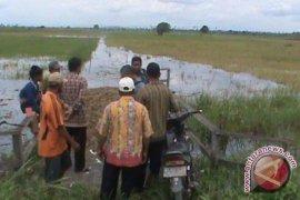 30 Hektare Sawah di Babulu Gagal Panen