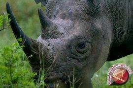 Demi mencegah lonjakan perburuan, Afrika Selatan potong cula badak