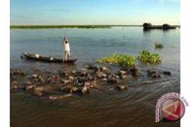 Membangkitkan Kembali Keunikan Wisata Kerbau Rawa