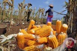 Produksi Tanaman Hortikultura Petani Babel 7.417 Ton