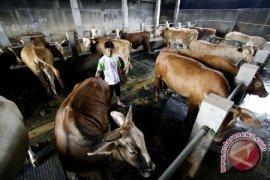 Pemkab Bangka Bagikan 400 Kupon Daging Kurban