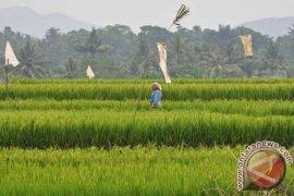 Puluhan Hektare Lahan Pertanian Diserang Hama