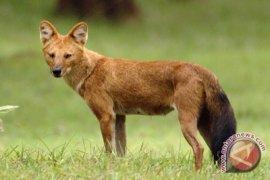 Anjing hutan  resahkan peternak kambing di Lebak