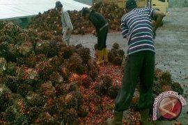 Petani sawit di Kotabaru kesulitan pasarkan TBS