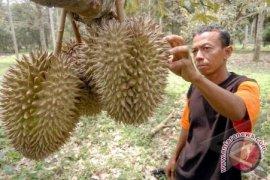 Durian Cumasi khas Babel dibandrol Rp300 ribu per butir