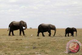 Tanzania menyita gading yang diduga berasal dari 117 gajah liar
