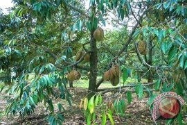 Pemprov Babel Sediakan 2.000 Bibit Durian Namlung