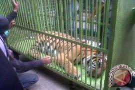 Menjerat pakai kawat baja harimau Sumatera dihukum 5 tahun