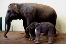 """Gajah """"Erin"""" yang belalainya terpotong bisa beradaptasi"""