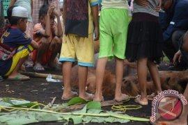Orangutan Tewas di Peniraman