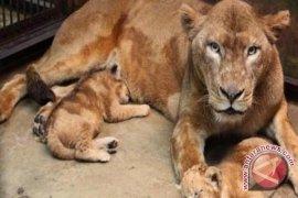 Singa Afrika lahir di Kebun Binatang Riau