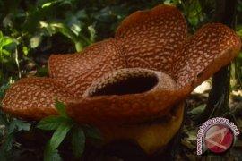 Perambahan Hutan Rusak Habitat Rafflesia Di Bengkulu