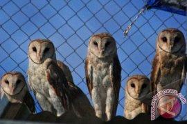 Petani Kwasen tangkarkan burung hantu berantas tikus