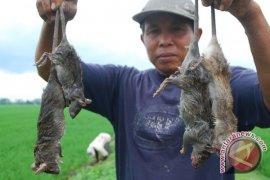 Petani Karawang lakukan aksi pemberantasan hama tikus