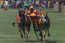 Karapan Sapi Piala Presiden di Madura 29 Oktober