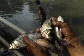 Awas, Kepunahan Ikan Lokal Indonesia Harus Dicegah
