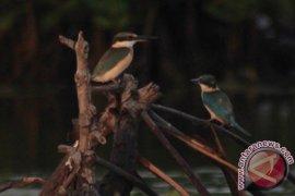 Burung Raja Udang di Hutan Bakau