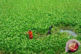 Banjarmasin Bersihkan Eceng Gondok Sungai Veteran