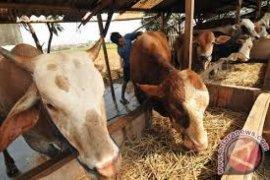 Asuransi usaha ternak sapi dimanfaatkan peternak Solok Selatan