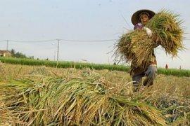 Dinas Pertanian: Produksi Beras Di Banten Surplus