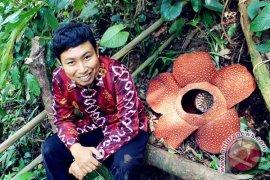 KPPL: 39 bunga Rafflesia mekar di Bengkulu