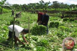 Petani Sayur di Pangkalpinang Terancam Gagal Panen