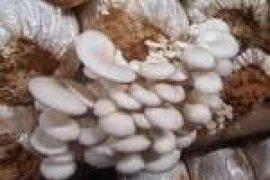 Jamur Tiram Potensial Dikembangkan Di Banten