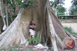 Tim Kampanye Hijau Fkh Temukan Pohon Besar