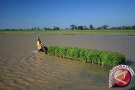 1.713 Hektare Padi Puso Akibat Banjir di Bireuen
